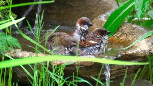 Birds. Sparrows