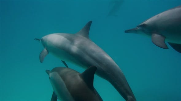 Thumbnail for Free Dolphins in Clear Water