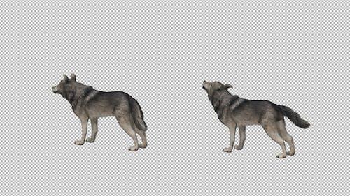 Wolf Howl Backside