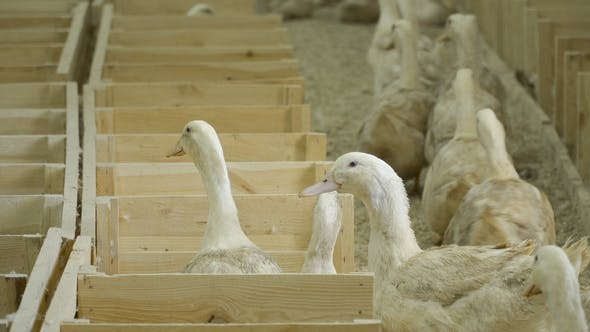 Thumbnail for Ducks for Sale at Poultry Farm