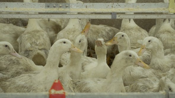 Thumbnail for Ducks Growing at Poultry Farm in Corrals