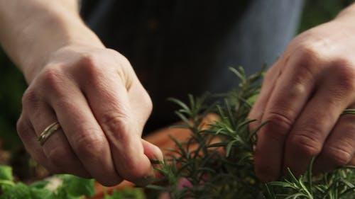 Picking Rosemary