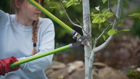 Thumbnail for A Young Girl Cuts a Pear Branch with Garden Clippers, Slow- Motion