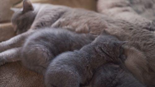 Scottish Fold Family, Mommy Feeding Three Kitties and Resting