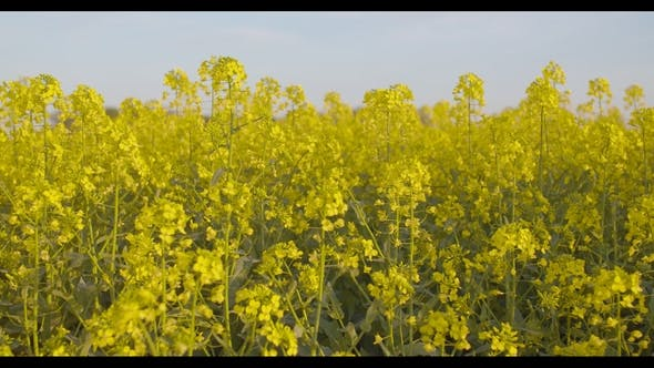 Thumbnail for Blooming Canola Field. Agricultural Field on Canola