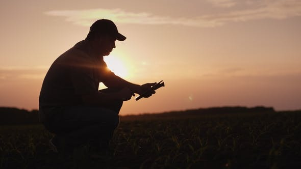 Thumbnail for A Farmer Is Working in the Field at Sunset. Studying Plant Shoots, Using a Tablet