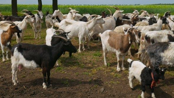 Thumbnail for Farm Animals Goat