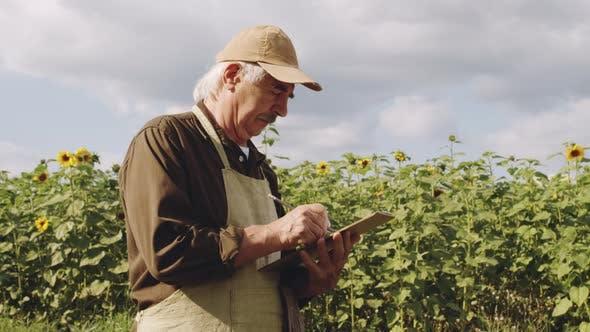 Senior Agronomist Examining Sunflower Crops