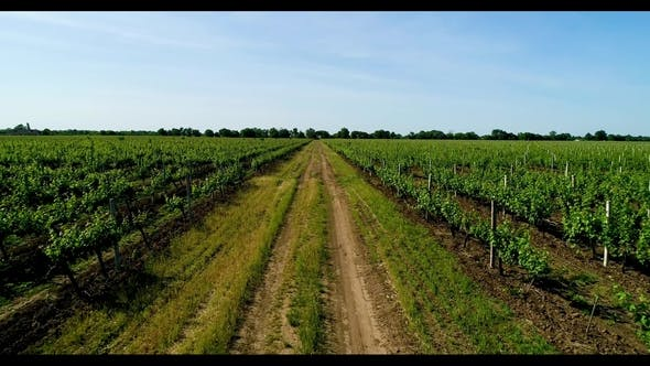 Thumbnail for Aerial View of Grape Field in Summer. Road Between the Grapes Fields