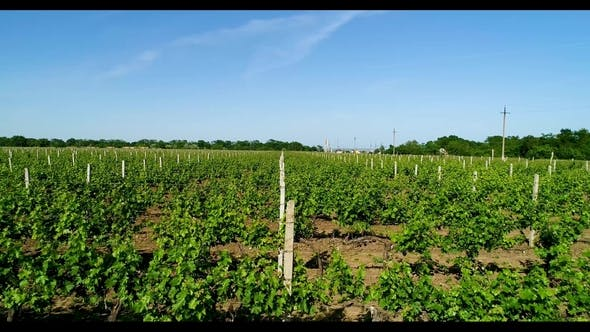 Thumbnail for Aerial View of Grape Field in Summer.