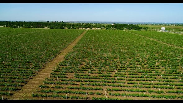 Thumbnail for Aerial View of Grape Field in Summer