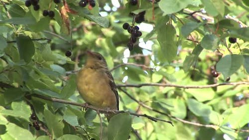 Western Tanager Lone Eating Feeding in Summer Berries Fruit Cherry