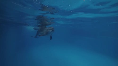 Dolphin with Trainer Swimming Underwater in Dolphinarium Pool