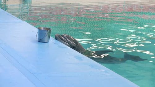Dolphin on Poolside Waiting Fresh Fish in Dolphinarium