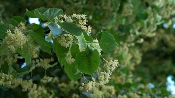 Thumbnail for Flowering Linden Branch with Blurred Swaying Linden Leaves on the Background.