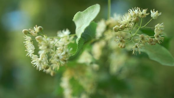 Thumbnail for Small-leaved Lime Flowers Swaying on the Wind