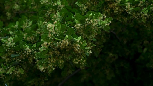 Thumbnail for Tilia (Linden) Tree Leaves and Flowers with Wind Blowing