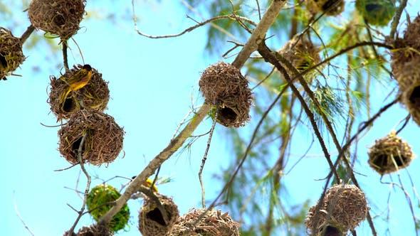 Weavers Birds Nests