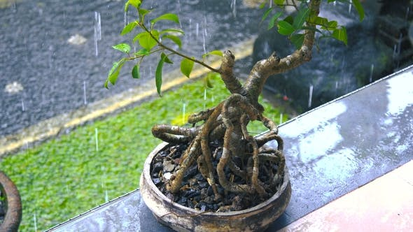 Cover Image for Japanese Bonsai Tree Outdoors in the Rain in Bali, Indonesia