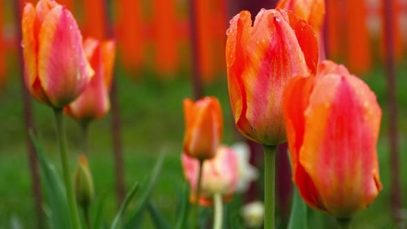 Thumbnail for Red-orange Tulips Flower After Rain