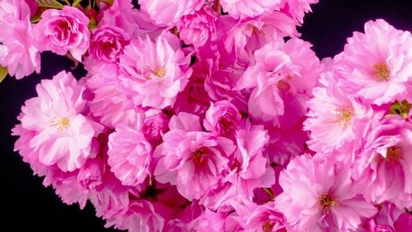 Thumbnail for Pink Sakura Tree Flowers