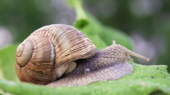 Thumbnail for Grape Snail in Nature.