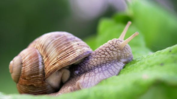 Thumbnail for Grape Snail in Nature