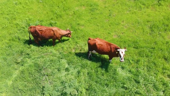 Thumbnail for Aerial View of a Group of Cows Chewing Grass on a Bright Green Meadow on a Ranch