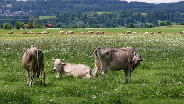 Cover Image for Cow Pasture on the Alps