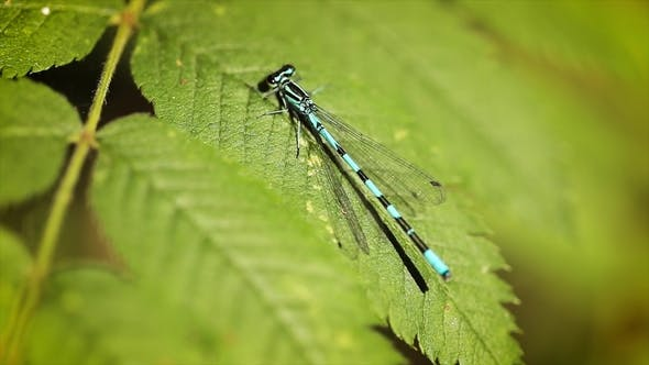 Thumbnail for Blue Dragonfly on the Green Leaf of the Plant.