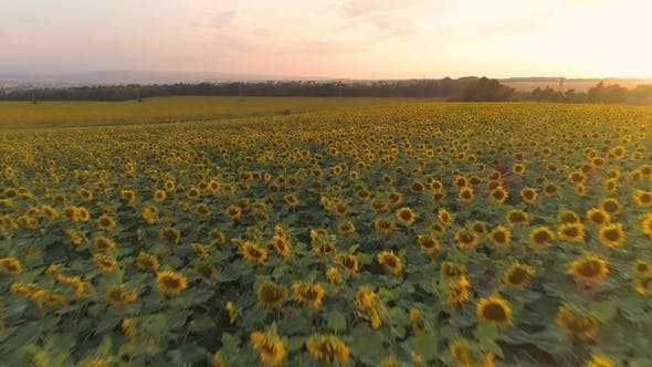Thumbnail for Sunflowers Field at Sunset and Colorful Sky. Aerial View