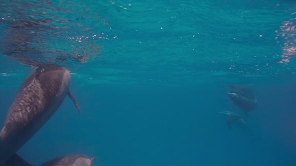 Thumbnail for A Freediver Girl with Free Dolphins