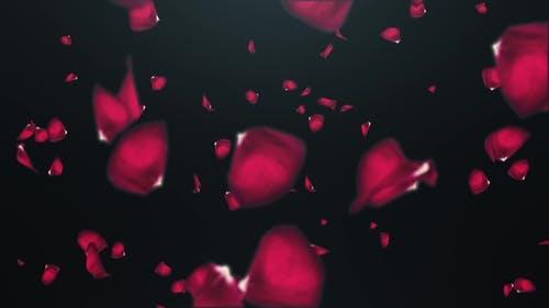 Falling Petals of Roses with on an Black Background