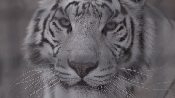 Cover Image for Muzzle of White Tiger Looking at You
