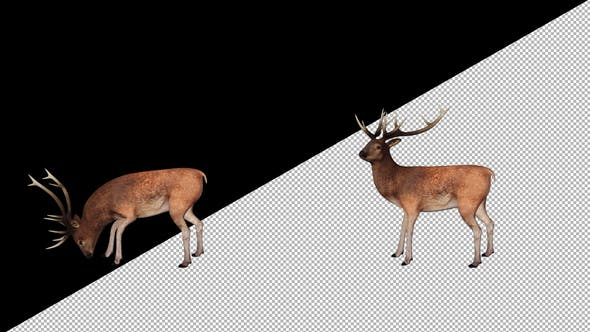 Thumbnail for Stag Looking Around