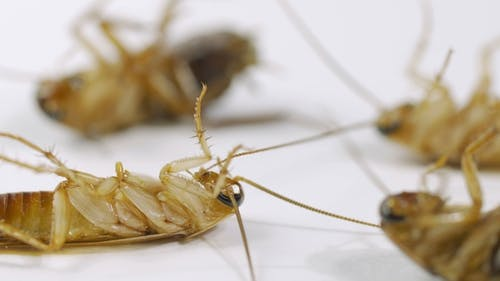 Cockroaches Die After the Action of the Insecticide.