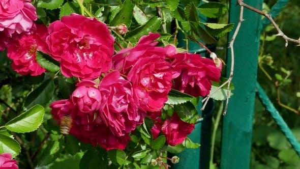 Thumbnail for Honey Bees in the Rose Bush