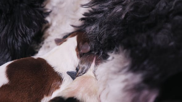 Thumbnail for Two Newborn Puppies Eat Mother's Milk. Feeding Babies Pets