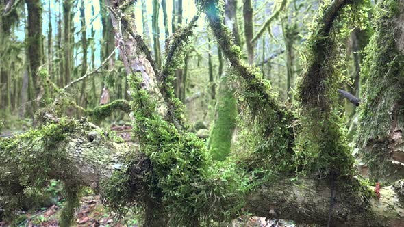 Thumbnail for Mossy Tree Branches in a Mystic Forest Completely Covered With Green Moss