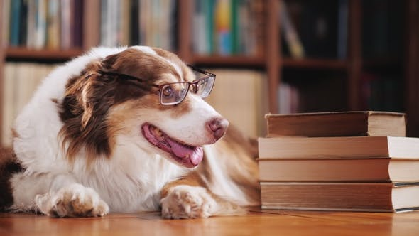 Thumbnail for A Student Dog with Glasses. There Are About a Pile of Books in the Library. Funny Animals