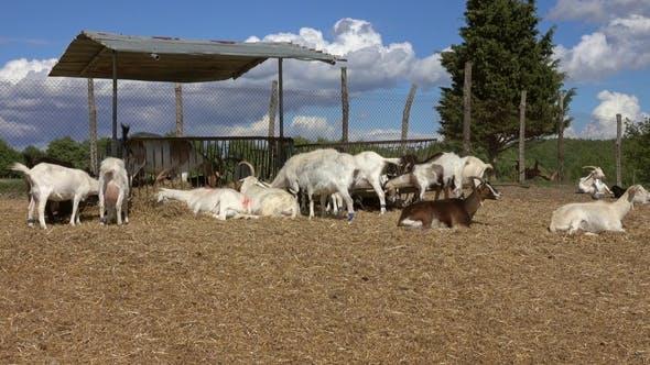 Thumbnail for Goats Eating Hay at Farm