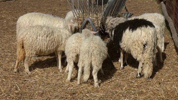 Thumbnail for Sheeps Eating Hay at Farm
