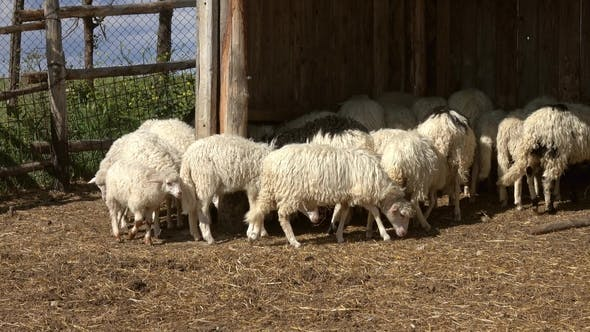 Thumbnail for Sheeps Eating Hay at Farm