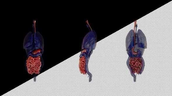 Menschliche Anatomie Verdauungssystem