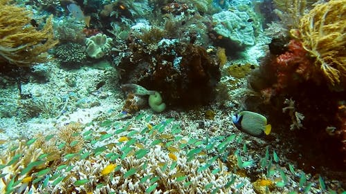 Emperor Angelfish Swimming Between Soft and Hard Coral Reef