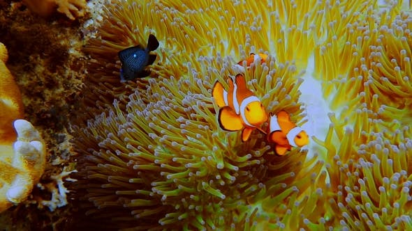 Thumbnail for False Clown Fish Family Known As Nemo Fish on Pink-green Anemone