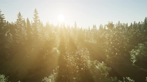 Thumbnail for Healthy Green Trees in a Forest