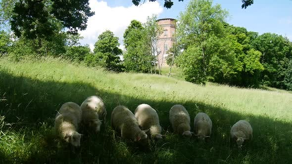 Thumbnail for Sheep On Lawn