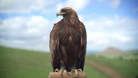 Thumbnail for A Golden Eagle Bird Perching