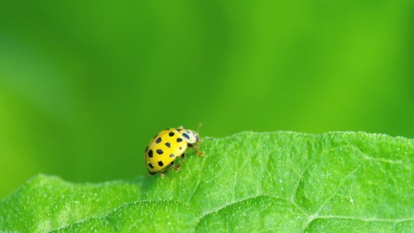Thumbnail for Ladybug in the Grass